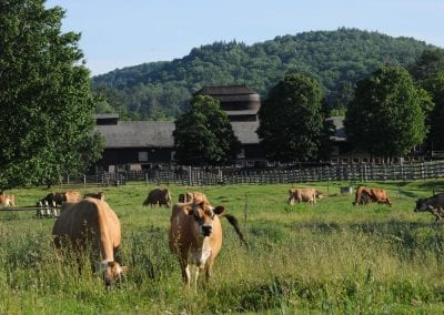 Jersey cows at Billings Farm